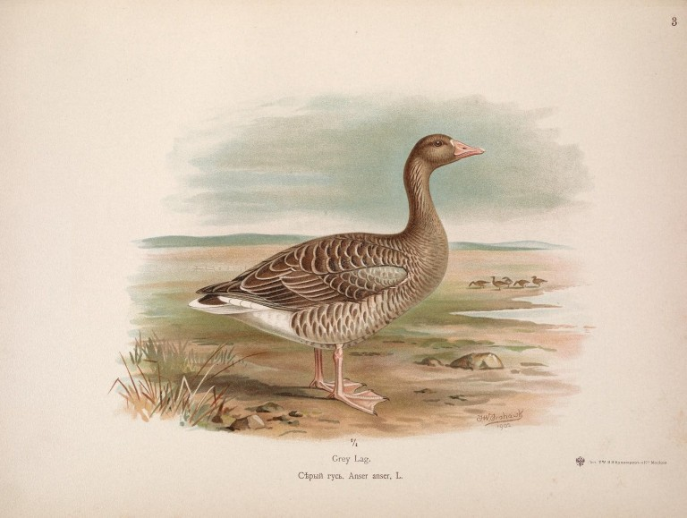 The_geese_of_Europe_and_Asia_(Plate_3)_(7006259864).jpg