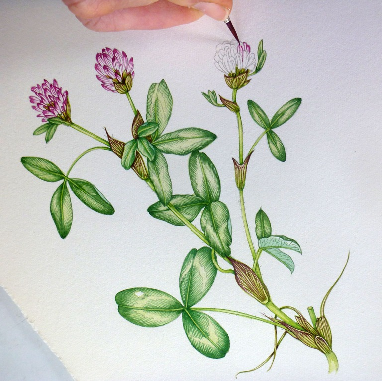 Lizzie Harper botanical illustration of red clover in progress.jpg