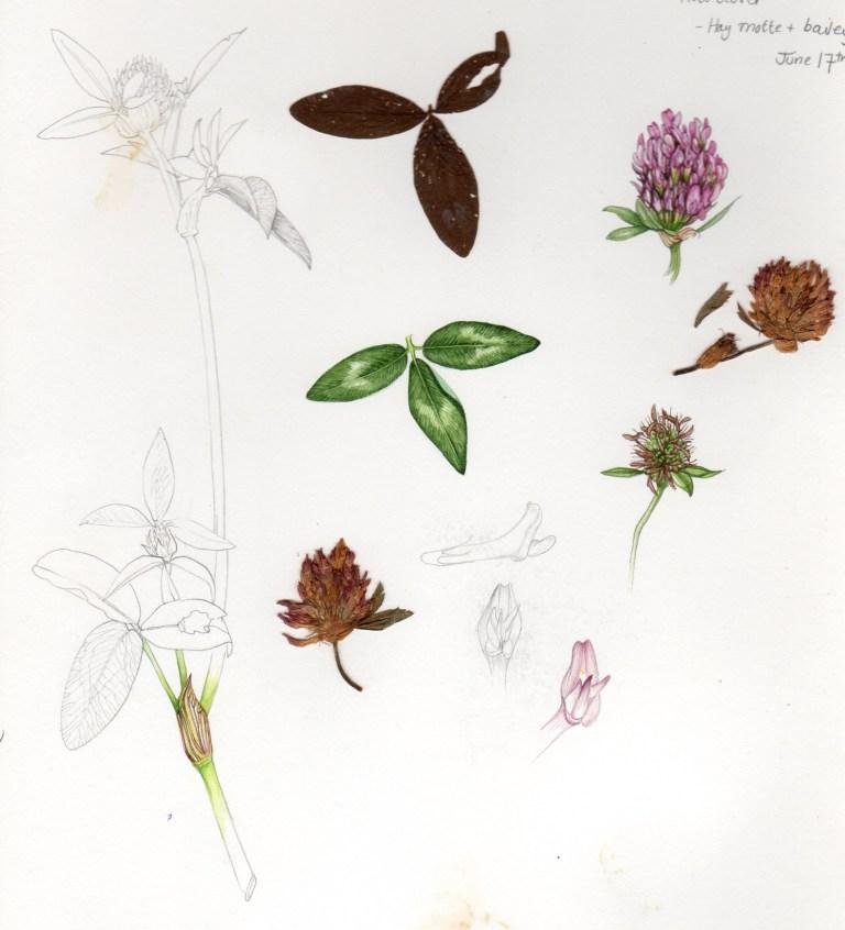 Red clover Trifolium pratense sketchbook study (1).jpg